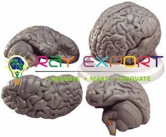 Human Brain Model, Plastic, 3 Parts