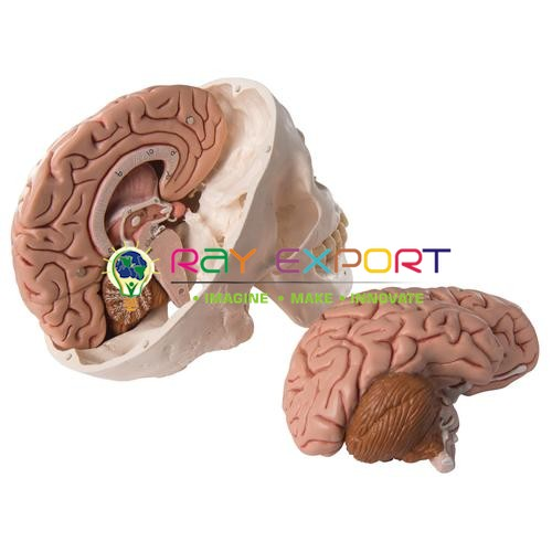 Human Brain, With Arteries, 2 Parts Anatomy Model FOR